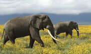 Elephants In the Flowery Savannas of Tanzania