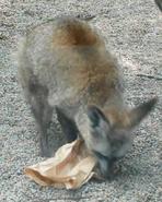 Knoxville Zoo Bat-Eared Fox