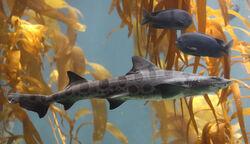 Shark, Leopard.jpg