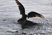 Vulture Swimming
