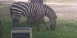 Zoo Miami Grant's Zebra