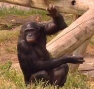B&F Chimpanzee