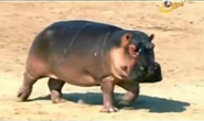 BTJG Hippo