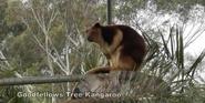 Canberra Zoo Tree Kangaroo