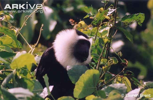 Geoffroy's Black-and-White Colobus