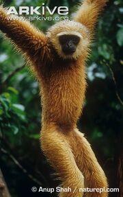 Gibbon, Agile.jpg