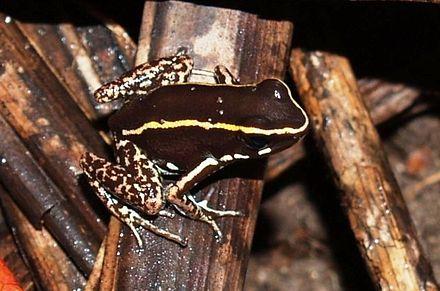 Lovely Poison Frog