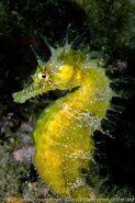 Long snout seahorse