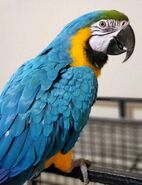 Macaw, Blue and Gold (V2)