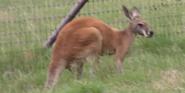 Natural Bridge Wildlife Ranch Kangaroo