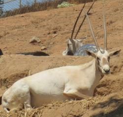 San Diego Zoo Safari Park Arabian Oryx.png