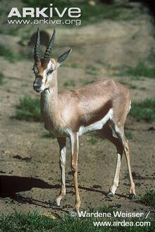 Speke's Gazelle.jpg