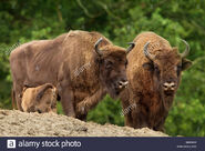 Wisent bull and cow