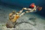Zebra mantis shrimp hunting fish
