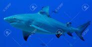 81284250-bull-shark-side-profile