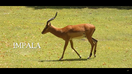 Cincinnati Zoo Impala V2