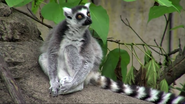 Cincinnati Zoo Ring-Tailed Lemur