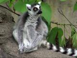 The Powerpuff Lemurs