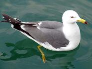 Gull in water3