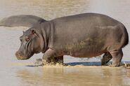 Hippopotamus, Cape (V2)