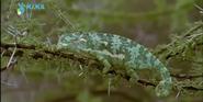 MMHM Chameleon