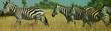 SRNGTI Zebras
