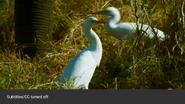 Serengeti Egrets