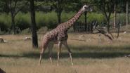 Toledo Zoo Giraffe V2