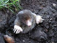 Eastern mole (Scalopus aquaticus)