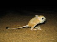 Lesser Egyptian jerboa (Jaculus jaculus)