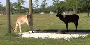 Lion Country Safari Lechwes
