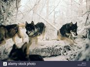 Pack of Eurasian Wolves