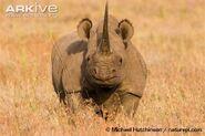 Rhinoceros, Black 1