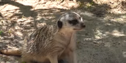 Riverbanks Zoo Meerkat