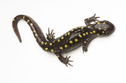 Spotted-salamander.jpg