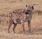 Spotted Hyena (Animals).jpg