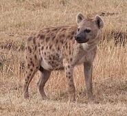 Spotted Hyena (Animals)