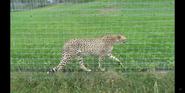The Wilds Cheetah