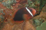 Tomato clownfish Amphiprion frenatus.jpg