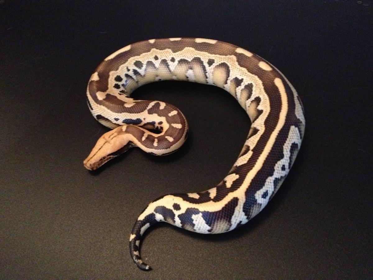 Bornean Python