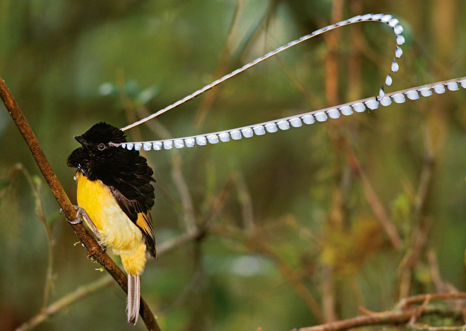 King of Saxony Bird-of-Paradise