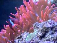 BEBN Delicate Sea Anemone