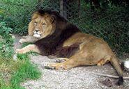 Barbary lion (Panthera leo leo)