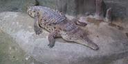 Brookfield Zoo Crocodile