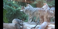 Brookfield Zoo Wolves