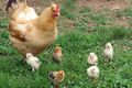 Chickens-large