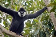 Gibbon, Black-Crested