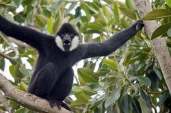 Gibbon, Black-Crested.jpg