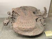 Henodus fossil