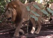 Jacksonville Zoo Lion